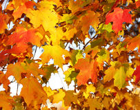 Autumn Maple Leaves. Outdoor Royalty Free Stock Photos