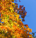 Autumn maple leaves. Stock Images