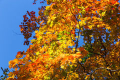 Autumn maple leaves. Stock Photo
