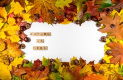 Autumn maple leaves over white background with Autumn is here text. Copy space for message Stock Photography