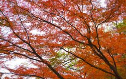 Autumn maple leaves. Red leaves and branches of maple tree at autumn Royalty Free Stock Image