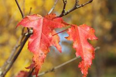 Autumn maple leaves red close-up in natural conditions. Autumn maple leaves red close-up in natural conditions on the background of the blurred background of royalty free stock photography