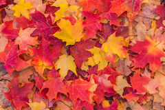 Autumn Maple Leaves in Red and Gold Stock Photo