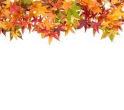 Autumn maple leaves red green yellow white background. Autumn maple leaves red green yellow isolated on white background royalty free stock images