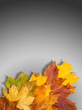 Autumn maple leaves red yellow green. free field for the text in Stock Image