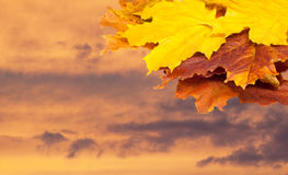 Autumn maple leaves red yellow green. free field for the text in Stock Photo