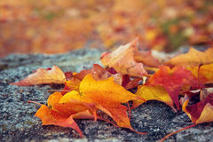 Autumn Maple leaves on a rock Royalty Free Stock Photography