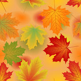 Autumn maple leaves. Royalty Free Stock Image