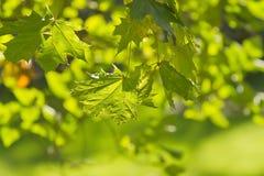 Autumn maple leaves. Seasonal background image with autumn maple leaves stock illustration