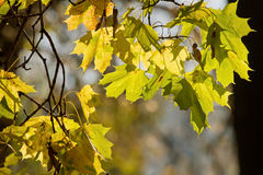 Autumn maple leaves. Seasonal background image with autumn maple leaves stock images