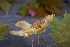 Autumn maple leaves and seeds pods. Close up of autumn maple leaves and seeds pods in the foreground, soft focus color background royalty free stock images