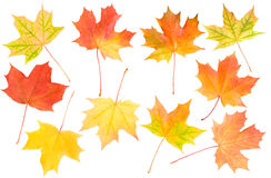 Autumn Maple Leaves Set Stock Image