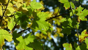 Autumn maple leaves on sky background. FHD video stock video