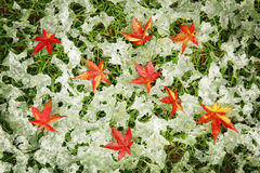 Autumn maple leaves in the snow Royalty Free Stock Images