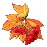 Autumn maple leaves and sprig of red berries Royalty Free Stock Photo