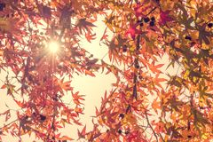 Autumn maple leaves with sunbeam, looking up in a forest in autumn royalty free stock photos