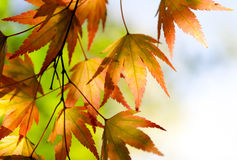 Autumn maple leaves in the sunlight. Autumn maple leaves in the sunshine Royalty Free Stock Photography