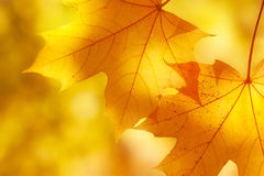 Autumn maple leaves in sunlight Royalty Free Stock Photo