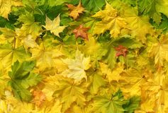 Autumn maple leaves in sunlight Stock Image