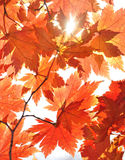 Autumn, maple leaves Stock Image