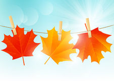 Autumn maple leaves Stock Image