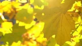 Autumn maple leaves swaying in the wind with sun shining through them. Slow motion shot of autumn maple leaves swaying in the wind with sun shining through them stock video footage