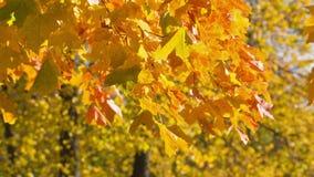 Autumn maple leaves sways stock footage
