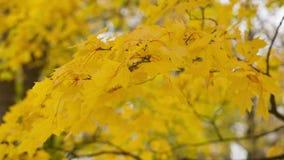 Autumn maple leaves sways stock video footage