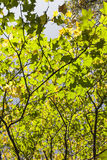 Autumn Maple Leaves. Royalty Free Stock Photo