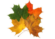 Autumn maple leaves three Stock Photography