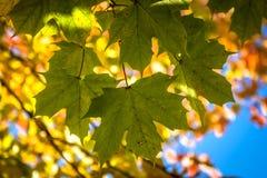 Autumn Maple Leaves, Transformatie van Groene aan Gele Esdoornbladeren in Daling stock afbeeldingen