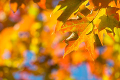 Autumn maple leaves on tree branch Stock Photo