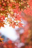 Autumn maple leaves. Autumn leaves of maple trees Royalty Free Stock Photography
