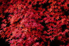Autumn maple leaves. Autumn leaves of maple trees Stock Photography