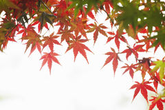 Autumn maple leaves. Autumn leaves of maple trees Royalty Free Stock Image
