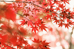 Autumn maple leaves. Autumn leaves of maple trees Stock Images