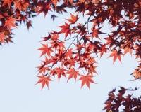 Autumn maple leaves. Autumn leaves of maple trees Stock Image