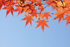 Autumn maple leaves. Autumn leaves of maple trees Royalty Free Stock Photos