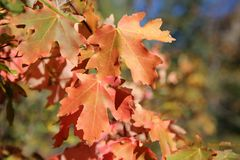Autumn maple leaves. Maple leaves turn red in autumn royalty free stock photo