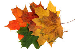 Autumn maple leaves two Stock Photos