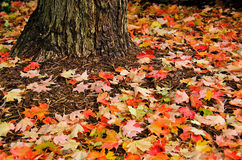 Autumn maple leaves under tree Royalty Free Stock Image