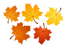 Autumn maple leaves of various colors. Vector illu Stock Images