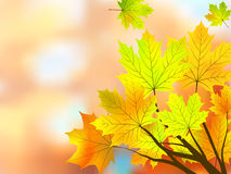 Autumn maple leaves, very shallow focus. Stock Photo