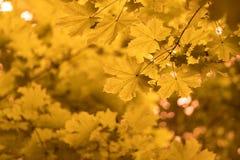 Autumn Maple Leaves Wallpaper Picture jaune Photo libre de droits