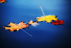 Autumn maple leaves on water. Yellow autumn maple leaves on water Stock Photo