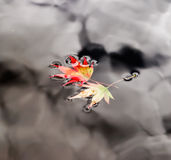 The autumn maple leaves on water Stock Photos