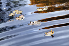 Autumn maple leaves on the water surface. Stock Images