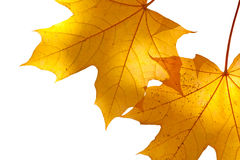 Autumn maple leaves on white background Royalty Free Stock Images