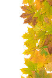 Autumn maple leaves on a white background Stock Image