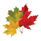 Autumn maple leaves on a white background. Red, Stock Photos